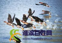 淮滨淮南湿地雁成阵(图)